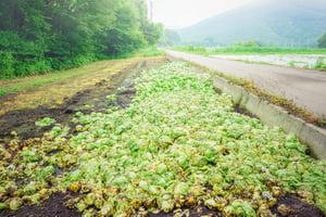 field-discarded-lettuce